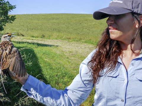 Amy Scarpignato holds an Eastern Meadowlark with a transmitter in Front Royal, Virginia.